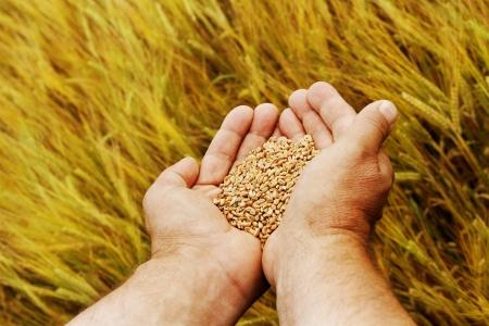 Hand met zaden en tarwe land