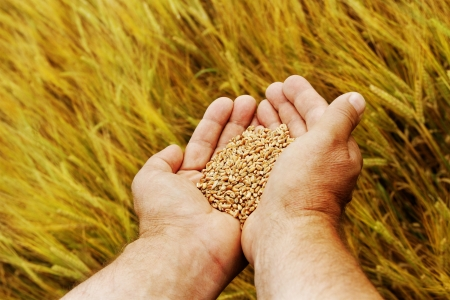 Hand with seeds and wheat land