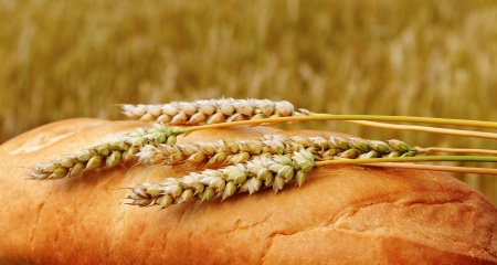 Bread with spikes at the wheat field  photo