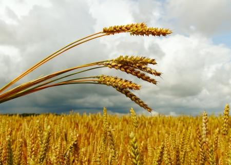 feld: Spikes of wheat above feld  Stock Photo