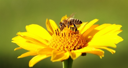 Bee on the yellow flower  Stock Photo - 14761554