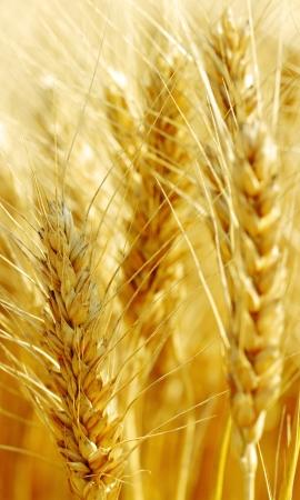 Klaar pieken van tarwe op het land