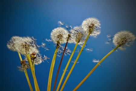 Dandelions in front of blue sky  photo