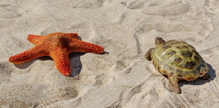 adult footprint: Turtle and red starfish on a sand