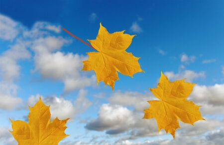 Maple leaf on the sky background  photo