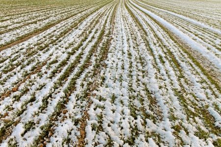 First snow on the wheat field Stock Photo - 16112226