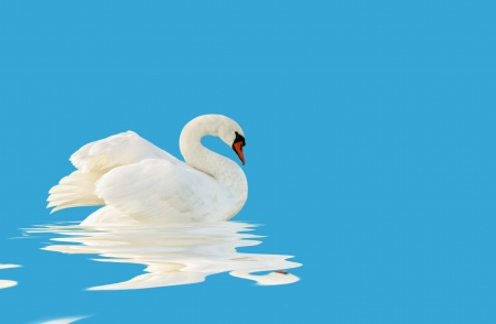 White swan on the blue surface  photo