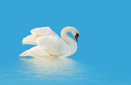 Swan on the blue surface  photo