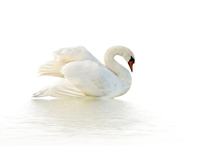 Swan on the white surface