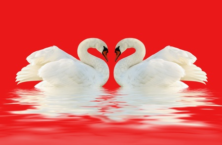 black plumage: Two swans on the red surface  Stock Photo