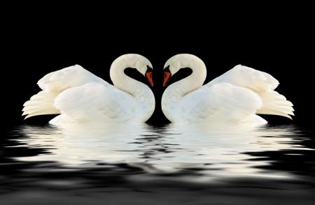 Twee zwanen op het zwarte oppervlak Stockfoto