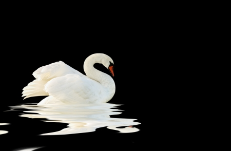 black plumage: White swan on the black surface