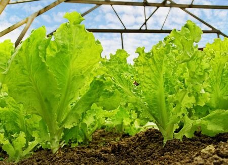 Lettuce is growing in a greenhouse
