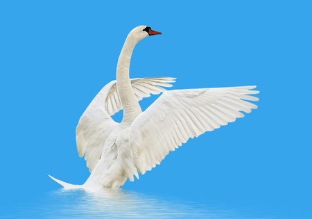 Swan on the water isolated on blue surface  photo