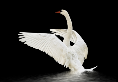 Swan on the water isolated on black surface