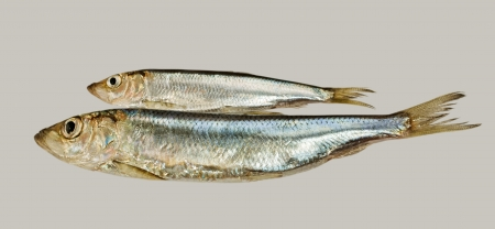 long and short scales: Two Baltic herrings isolated on grey surface  Stock Photo