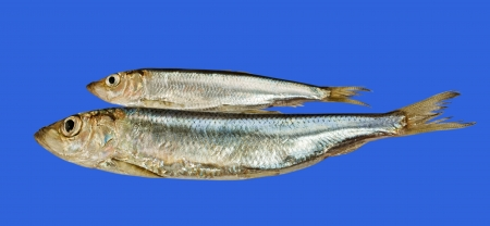 long and short scales: Two Baltic herrings isolated on blue surface