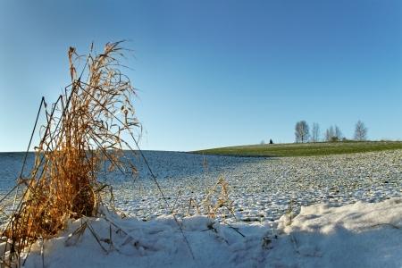 hoarfrost: Hoarfrost on the green wheat field