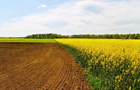 Country landscape with blossom canola  photo
