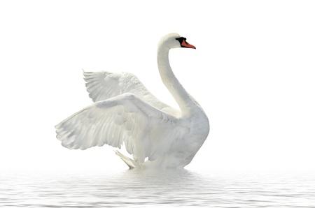 Swan sulla superficie bianca