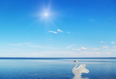 Fantastic swan on the water surface  photo