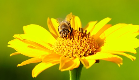 Bee on the yellow flower in a sunny day  Stock Photo - 17095866