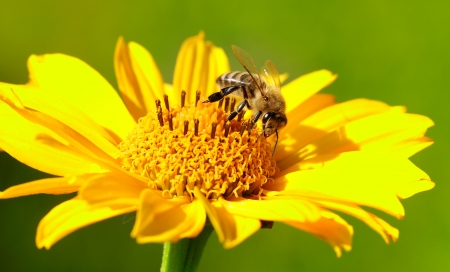 Bee on the yellow flower in a sunny day Stock Photo - 17095868
