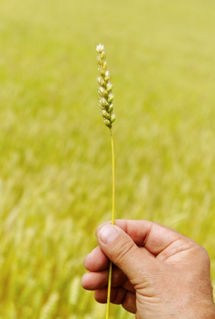 Man s hand is taking spike of wheat on the field background  photo