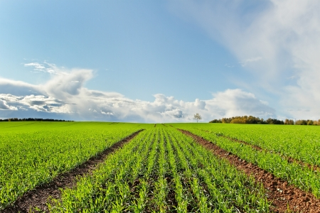 Country landscape with growing wheat  Stock Photo - 18049863