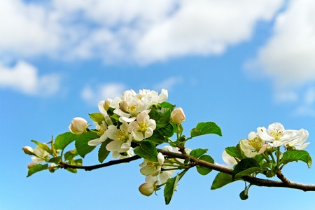 Blossom apple branch on blue sky phon Stock Photo - 18064259