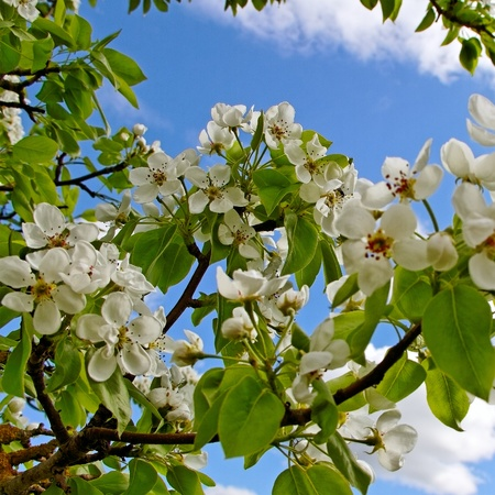 Blossom apple tree on blue sky phon  photo