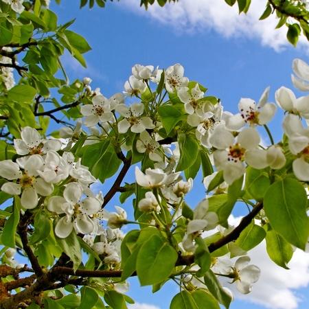 phon: Blossom apple tree on blue sky phon