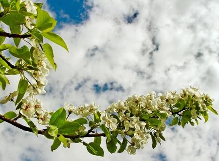 Blossom apple branch on blue sky phon Stock Photo - 18049927