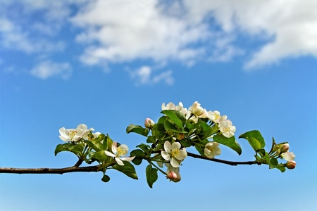 Blossom apple branch on blue sky phon  photo