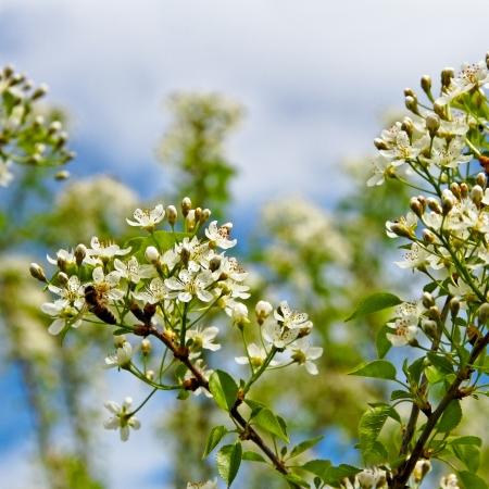 phon: Blossom cherry tree on blue sky phon