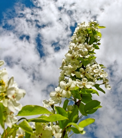 Blossom apple tree on  sky phon  Stock Photo - 18049849