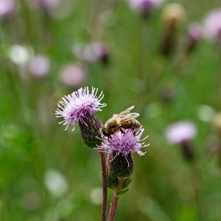 Abeille sur la fleur de chardon Banque d'images - 20945512