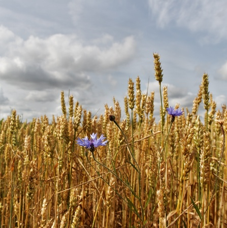 Ripe wheat field with cornflowers  photo