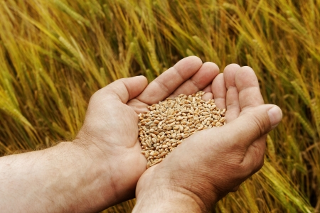 Wheat seed in the hand. photo