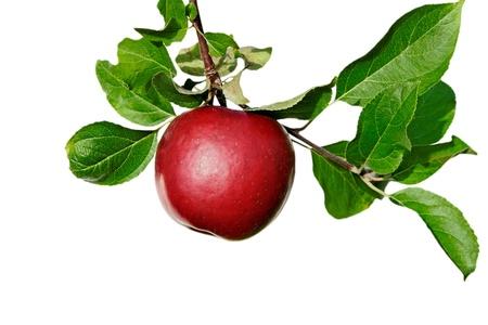 白い表面に分離された赤いリンゴとブランチ。