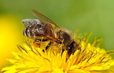 Bee is working on yellow dandelion.