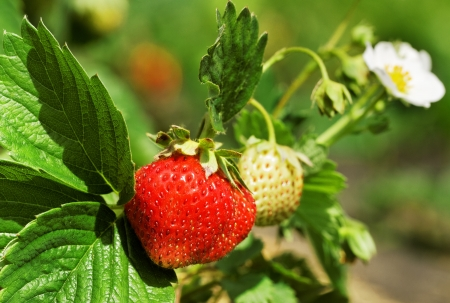 Bush of strawberry with flower and berries.