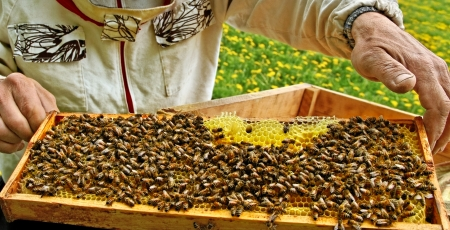 pollinator: Beekeeper is holding a frame of honeycomb.