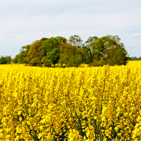rapaseed: Rapeseed field in a sunny day.