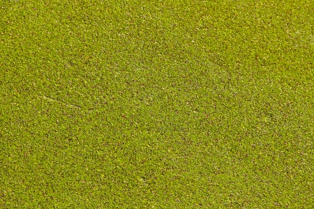 alergy: Green algae is blooming in a pond. Stock Photo