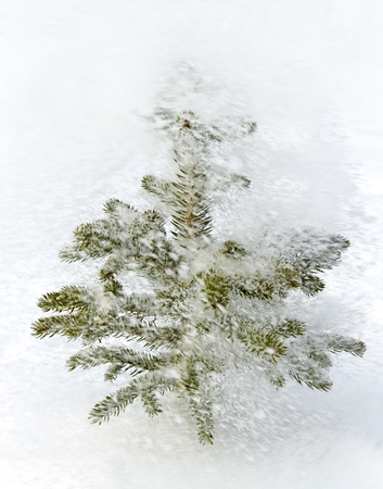 Natural pine tree covered with snow is growing outside. photo