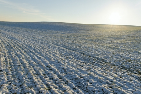gramineous: First snow on the wheat field.