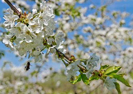 Apple tree blossom with flying bee. photo
