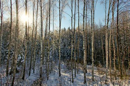 bosk: Bosk of birch tree in winter.