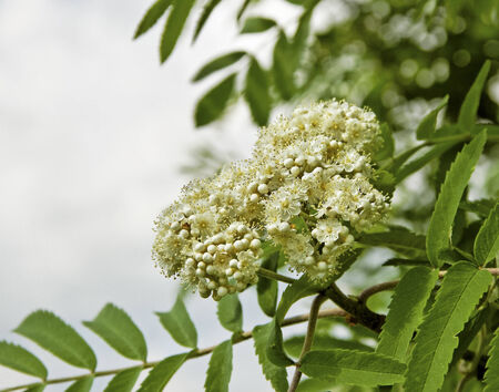 White flowers on the bush of blossom sorbus. photo